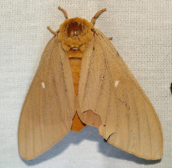 Moth - Anisota oslari