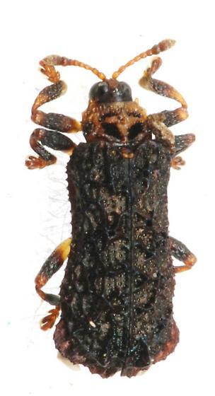 Unknown Beetle - Octotoma plicatula