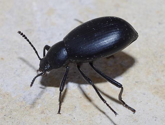 black beetle - Eleodes