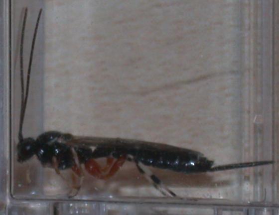 Ichneumons from lymantriid cocoon - Iseropus coelebs - female