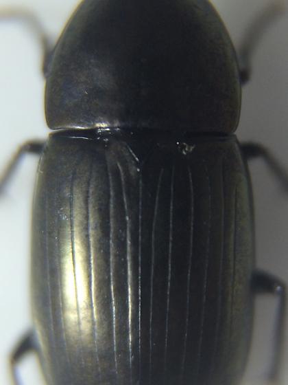 Carabid - Stenocrepis duodecimstriata - female