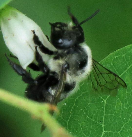 Anthophora abrupta? - Megachile