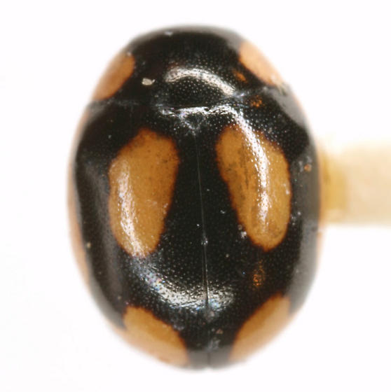 Hyperaspis fastidiosa Casey - Hyperaspis fastidiosa