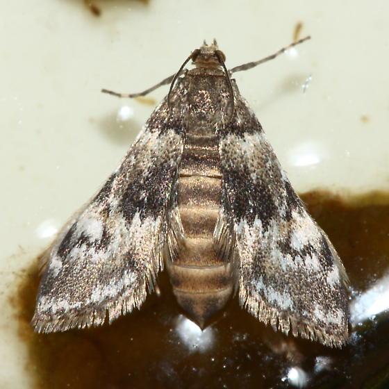 Waterlily Leafcutter Moth - Elophila obliteralis