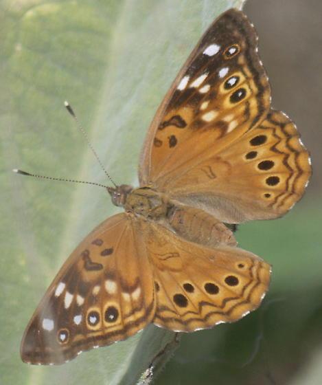 Emperor Butterfly - Asterocampa celtis - female