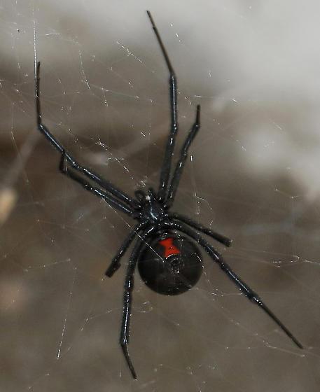 Black Widow_Latrodectus - Latrodectus hesperus - female