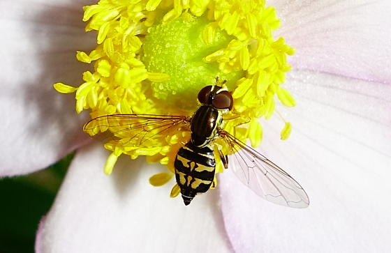 Syrphid from Oregon with Distinctive Stripe Pattern - Toxomerus occidentalis