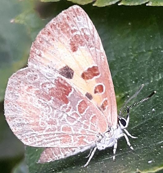 Butterfly  - Feniseca tarquinius