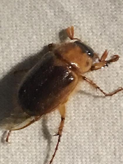 Cyclocephala species - Cyclocephala