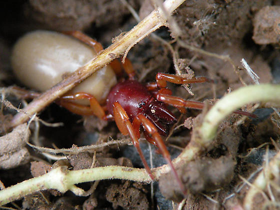 Brown and Red Spider - Dysdera crocata