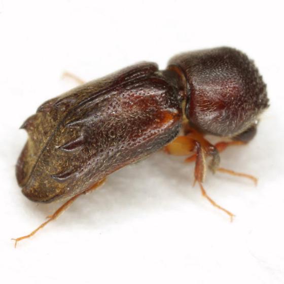 Xylobiops sextuberculatus (LeConte) - Xylobiops sextuberculatus