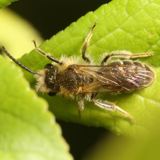 Andrena - Andrena wilkella - male