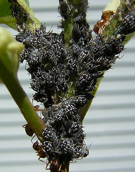 A colony of black and white aphids - Aphis