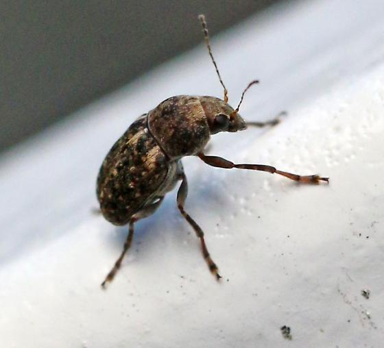 ID for a broad nosed weevil? - Araecerus fasciculatus