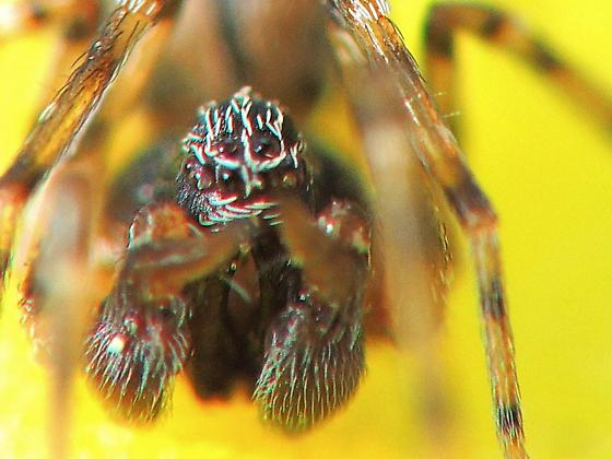 Tiny Spider with horn (tooth?) on palps - Dictyna calcarata - male