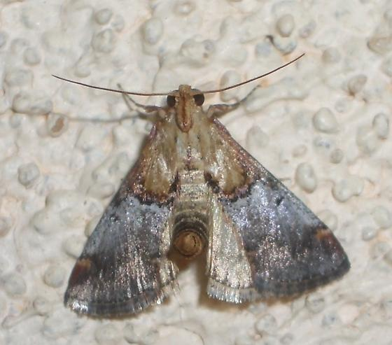 Dicymolomia or Chalcoela or ? - Cacozelia basiochrealis