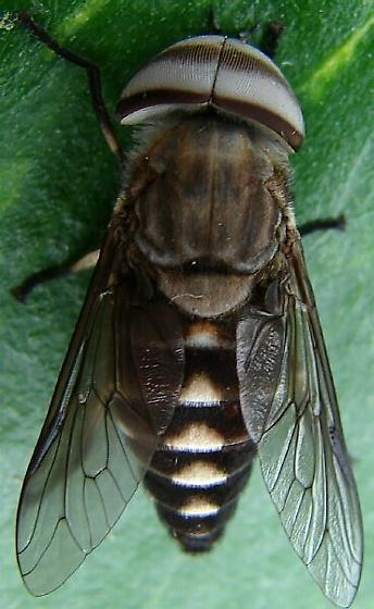 Horse fly - Tabanus melanocerus - male