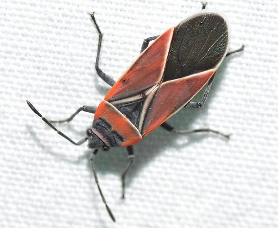 Hemipteran - Neacoryphus bicrucis