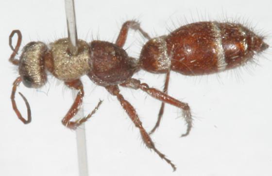Typhoctes peculiaris mirabilis (Bradynobaenidae) - Typhoctes peculiaris - female