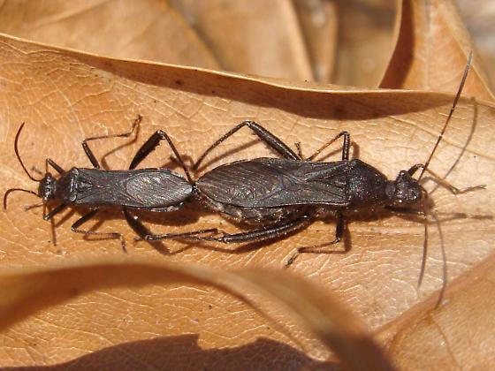 Mating pair - Alydus eurinus - male - female