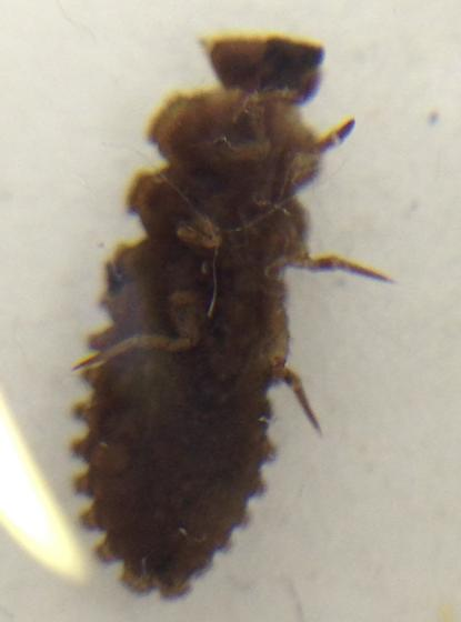 Aphorista morosa? Endomychid larvae. Found on dry logs wondering what species.