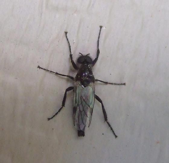 small black fly - Bibio albipennis - male