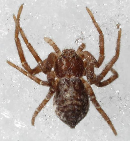 A cold spider - Philodromus