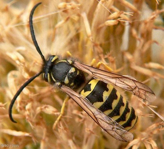 Yellowjacket - Vespula pensylvanica