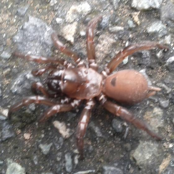 Could see this spider crossing the street - Antrodiaetus pacificus - female