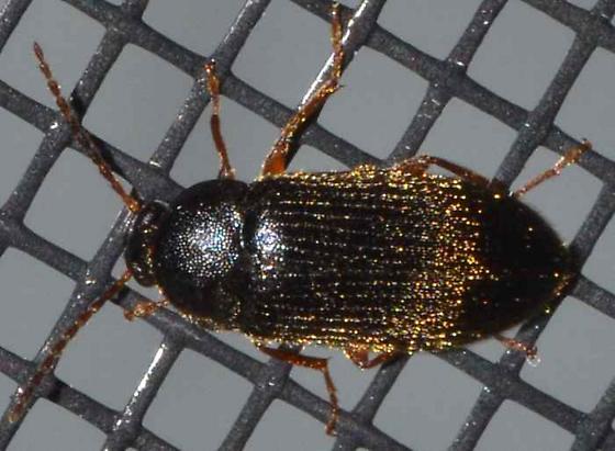Coleoptera - Hymenorus