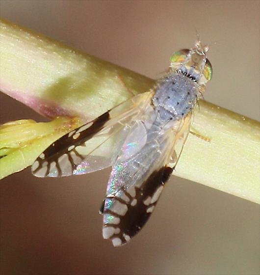 Trupanea bisetosa Fruit Fly? - Trupanea bisetosa - female