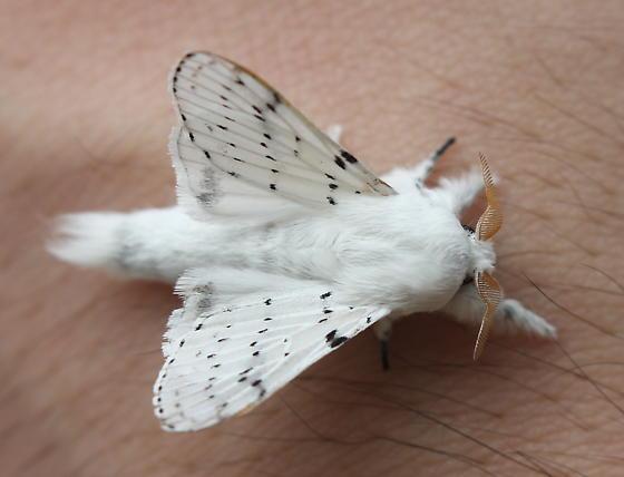 Artace cribrarius - male