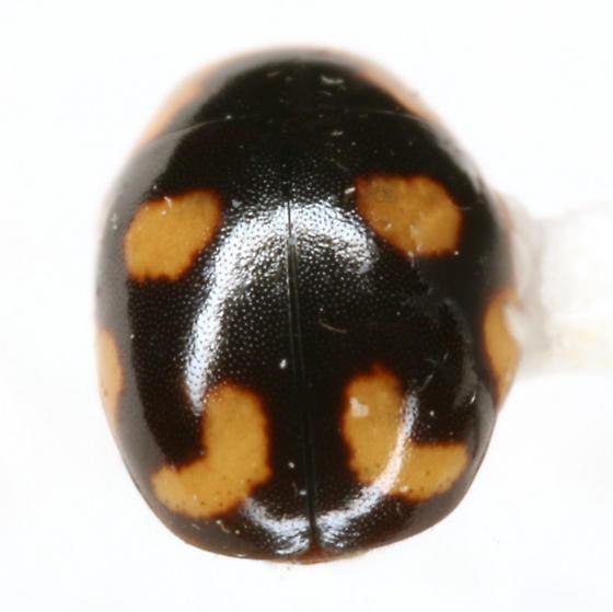 Hyperaspis MAQ sp. 4 - Hyperaspis