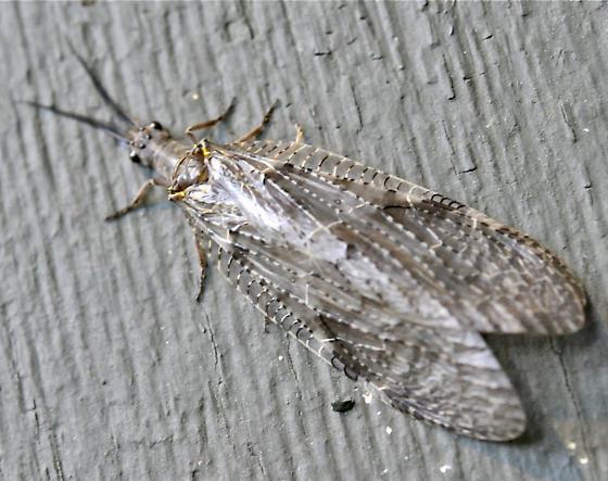 Dobsonfly or Fishfly (Corydalidae) - Chauliodes pectinicornis