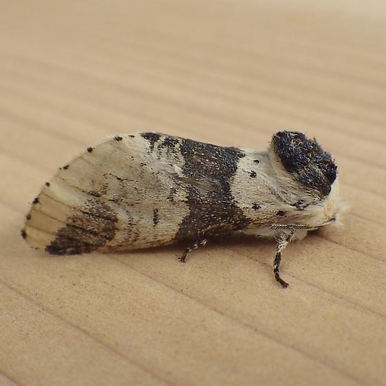 Notodontidae: Furcula modesta - Furcula modesta