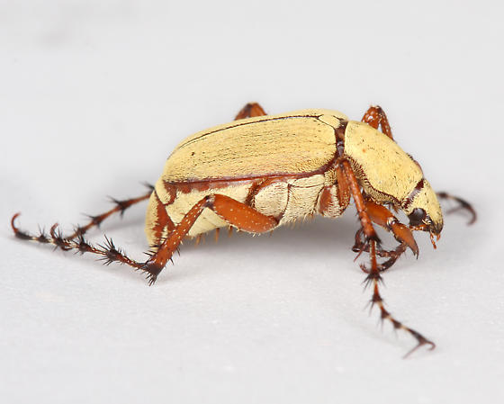 BG2551 E1249 - Macrodactylus