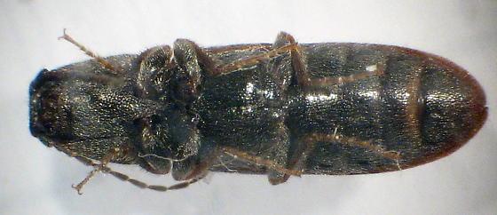 just another click beetle - Limonius basilaris
