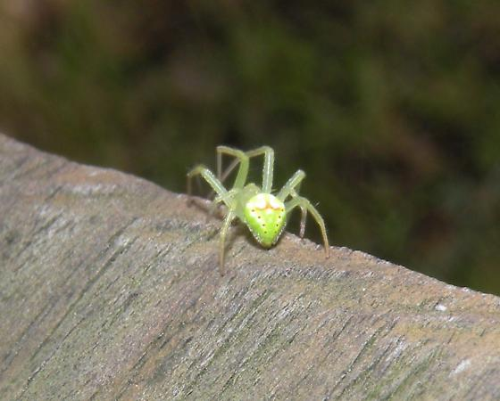 little spider, big mouthparts - Araneus cingulatus