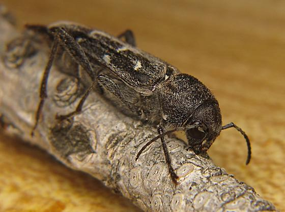 Xylotrechus - Xylotrechus sagittatus - female