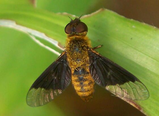 Bee fly - Chrysanthrax cypris