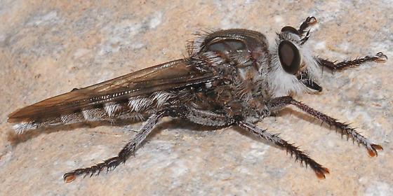 Promachus giganteus? - Promachus giganteus - male