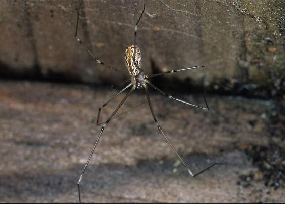 OC Cellar Spider - Holocnemus pluchei - female