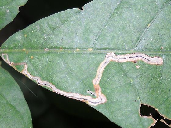 Oak Leaf Mine ID Request - Stigmella saginella