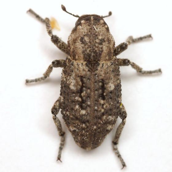 Thecesternus maculosus Pierce - Thecesternus maculosus