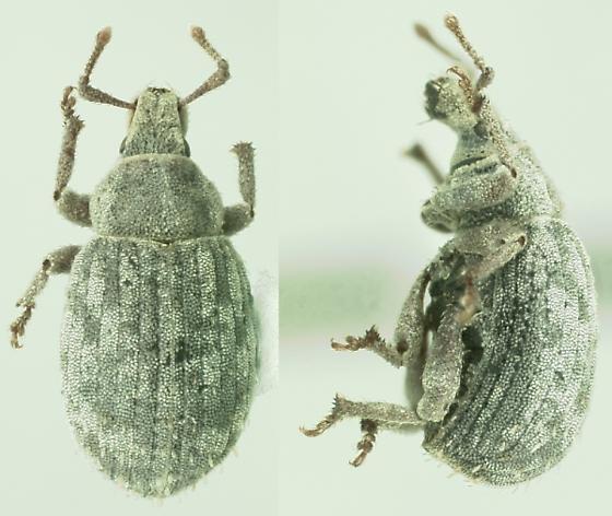 Trachyphloeus bifoveolatus (Beck) - Romualdius scaber