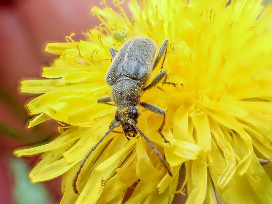 Flower Longhorn Beetle - Cortodera subpilosa