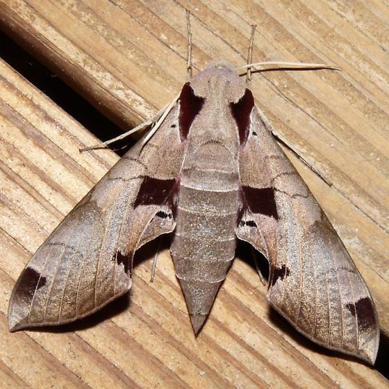 Sphinx Moth - Eumorpha achemon
