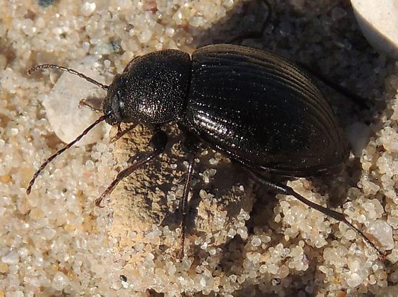 Michigan Dune Beetle - Meracantha contracta