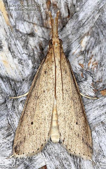 Pyraloidea - Donacaula