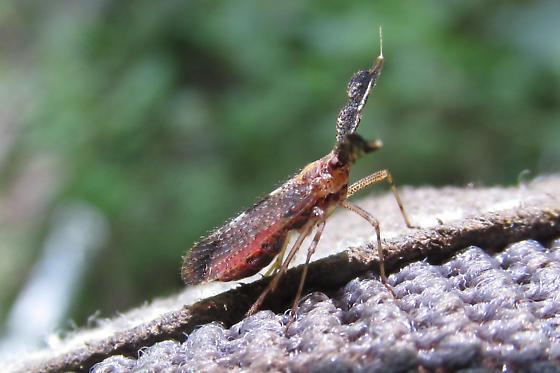 Copicerus irroratus